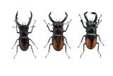 beetle Hexahrius isolated