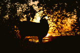 silhouette of a goat grazing in a field at sunset, livestock walking under a tree on nature - 229749826