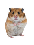 Syrian hamster isolated