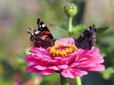 Beautiful butterflies on flowers. Bright color. Macro