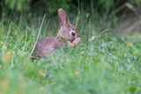 cute cottontail bunny portrait