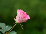 淡いピンクの美しい薔薇 - 229763254