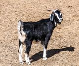 Goats on the farm - 229770820