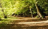 Autumn, sun dappled pathway through a wood of beech trees (Fagaceae) with fallen leaves and shadows. Sunlight playing on the foliage. Oxfordshire, England. - 229775645