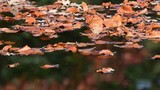 Beech leaves swim on the water, autumn, (fagus sylvatica), germany - 229782447