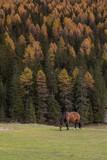 Horse in the autumn Dolomites, in Italy, Misurina