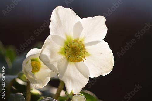 Foto Murales Blüte einer Christrose im Sonnenschein