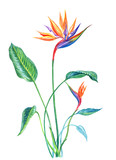 Tropical plant Strelitzia with leaves and flowers, watercolor painting on white background, isolated with clipping path.