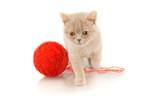 Beige British Kitten with Red Ball of Yarn