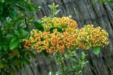 Arbuste, le Buisson ardent (Pyracantha coccinea) aux rameaux épineux aux petits fruits de couleur jaunâtre - 229805807
