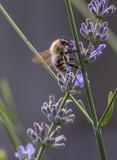Biene an der Blüthe