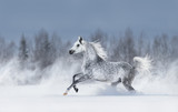 Grey arabian horse galloping during snowstorm. © Kseniya Abramova