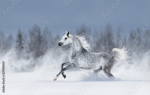 Fototapety, obrazy : Grey arabian horse galloping during snowstorm.
