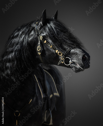 Fototapety, obrazy : Pura Spanish Horse in portuguese baroque bridle on dark background.