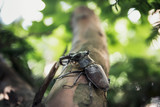 Stag beetle close up macro
