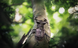 Rampant stag beetle on branch