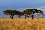 Fototapeta Sawanna - Acacia tree group at Sunset © Faas