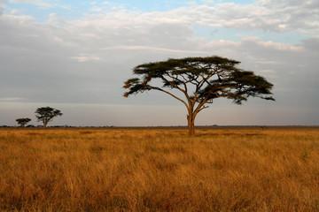 Acacia trees and the African Savannah