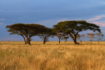 Acacia tree group at Sunset © Faas