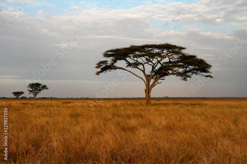 Acacia trees and the African Savannah © Faas