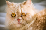 close up yellow persian cat of yellow hair and yellow eyes - 229856218