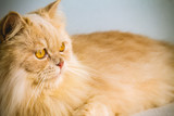 Persian cat portrait of yellow hair and yellow eyes