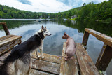 Alaskan husky dog is chilling on the dock with a sphynx cat - Picture taken at Mooney Lake, Quebec, Canada