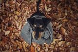 Portrait Hund im Laub auf Blättern im Herbst  mit Schal von oben Weitwinkel