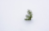 Small sprout of pine under the snow. Little pine sedling with ice on the top and surrounded of snow. - 229866886
