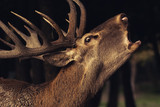 Red Deer With Big Horns, A young Red deer close up - 229876230