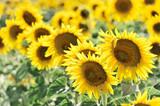 Sonnenblumenfeld, Sonnenblumen (Helianthus annuus), Landschaft südlich von Montepulciano, Toskana, Italien, Europa