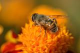 European hoverfly feeding on flower. Selective focus.