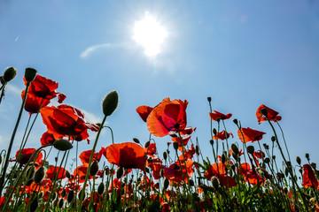 poppy field of poppies, digital picture taken in Italy, Europe