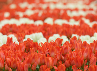 field of red and white tulips