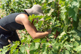 Winemaker woman picking grapes, harvest time - 229904657