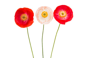red poppies isolated