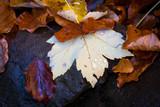 nice wet autumn leafage on stone - 229918638