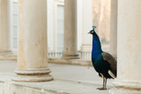 Peacock in Lazienki park, Warsaw, Poland. Photo with shallow depth of field. - 229925871