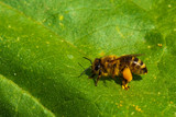 Close-up of Bee full of pollen sitting on green leaf - 229946077
