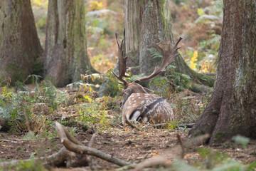 Ruhender Damhirsch im Wald