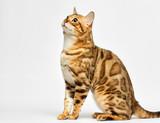 adult bengal cat looks - 229949606