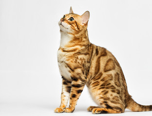 adult bengal cat looks