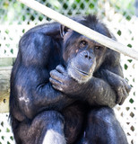 Sad Lonely Zoo Chimpanzee Monkey Face Expression - 229952006