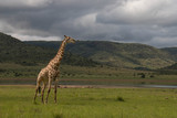 Giraffe eating and wondering under African sky's © Sus