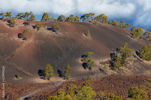 Green conifers on dry red soil of Tenerife Island above the clouds.