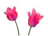 Pink tulip close up