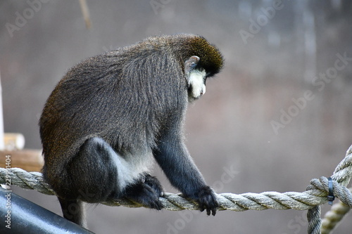Wall mural Monkey on a rope