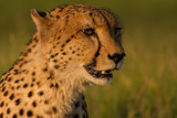 Golden cheetah portrait at sunset in the Okavango Delta, Bostwana. - 229996675