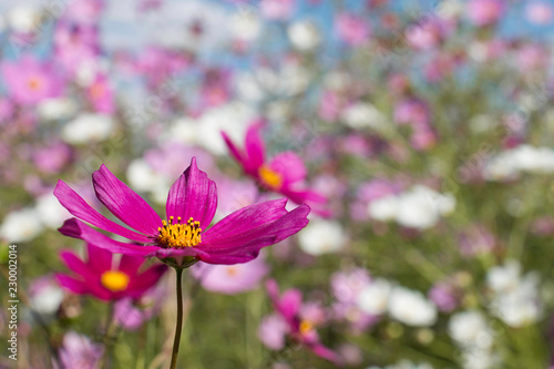Colorful Cosmos blooming in full sun