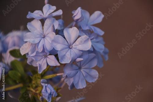 Foto Murales Blue Hydrangea